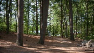 Pine needle path